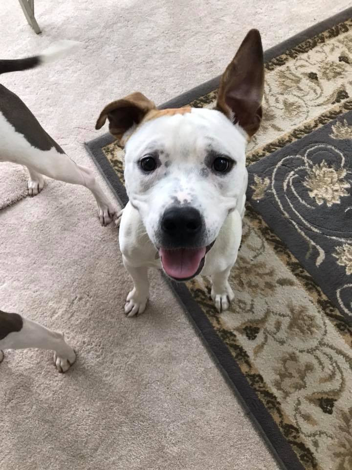 Dodger, an adoptable American Bulldog & Pit Bull Terrier Mix in Conover, NC
