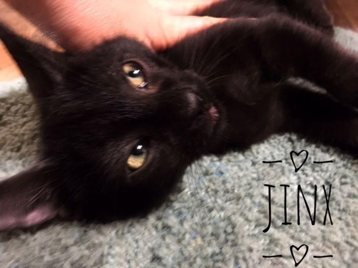 Jasmine & siblings, an adoptable Tuxedo & Domestic Short Hair Mix in Mission Viejo, CA
