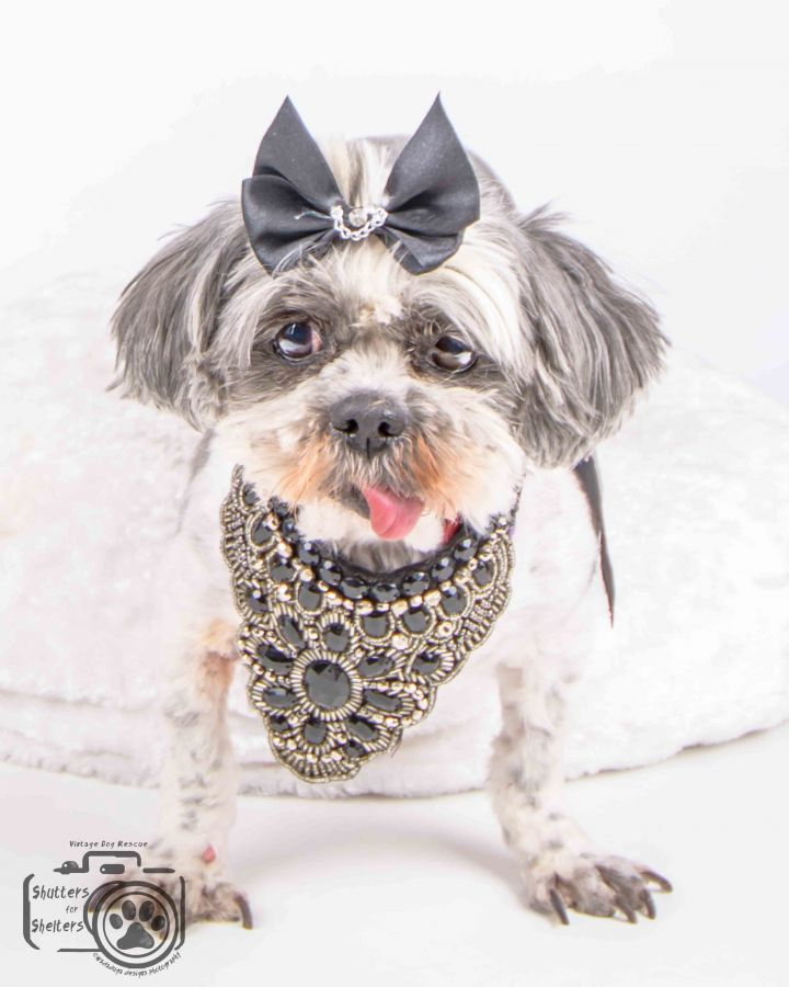 Kitty, an adopted Shih Tzu in Littleton, CO