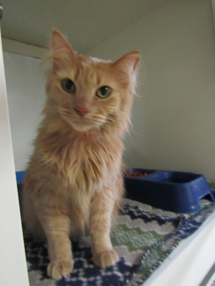 Key, an adopted Tabby in Battle Creek, MI