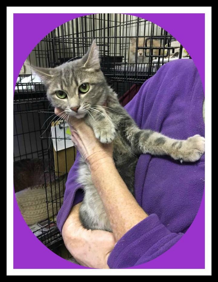 Carmen, an adopted Domestic Short Hair & Tabby Mix in Inez, KY