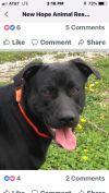 Labrador Retriever Dog: Colt