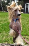 Chinese Crested Dog Dog: Honey Belle in Ontario