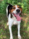 Foxhound Dog: Scout