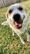 Labrador Retriever Dog: Jerry