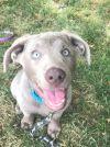 Labrador Retriever Dog: Winston
