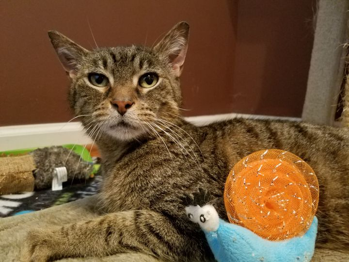 Merle, an adoptable Domestic Short Hair & Tabby Mix in Fredericksburg, VA