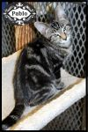 American Shorthair Cat: Pablo