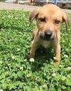 Labrador Retriever Dog: Stewart