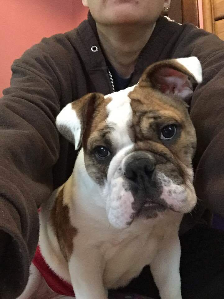 Chunk, an adopted English Bulldog in Decatur, IL