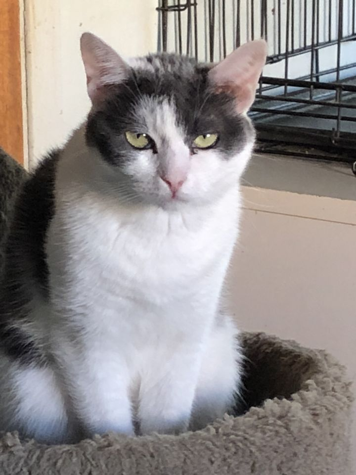 Lady, an adoptable Domestic Short Hair & Turkish Van Mix in Mission Viejo, CA