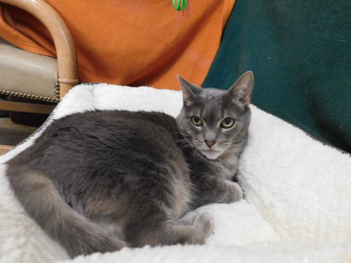 Kayla, an adoptable Domestic Short Hair in Montrose, CO