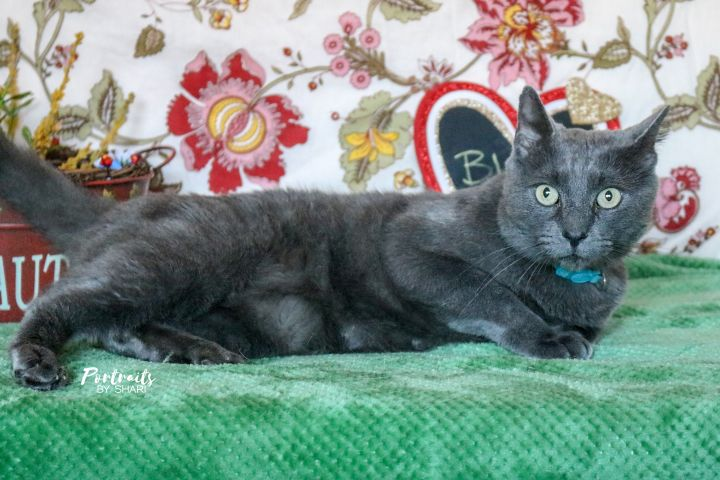 Blue, an adopted Russian Blue & Domestic Short Hair Mix in Marble Falls, TX