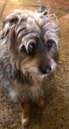 Silky Terrier Dog: Little Poppy, A Precious Miracle, thrown from a car.