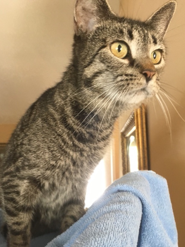Hera, an adopted Domestic Short Hair & Tabby Mix in Smithfield, NC