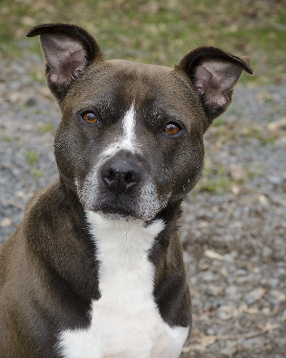Holly, an adopted Pit Bull Terrier Mix in Brockport, NY