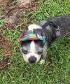 Boston Terrier Dog: Alice Moon NC