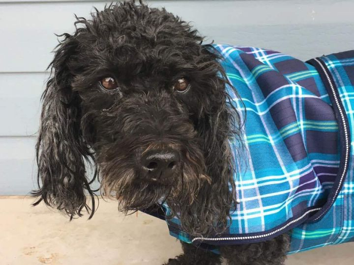 Layla, an adoptable Poodle & Basset Hound Mix in Minneapolis, MN