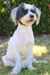 Bearded Collie Dog: Tiara