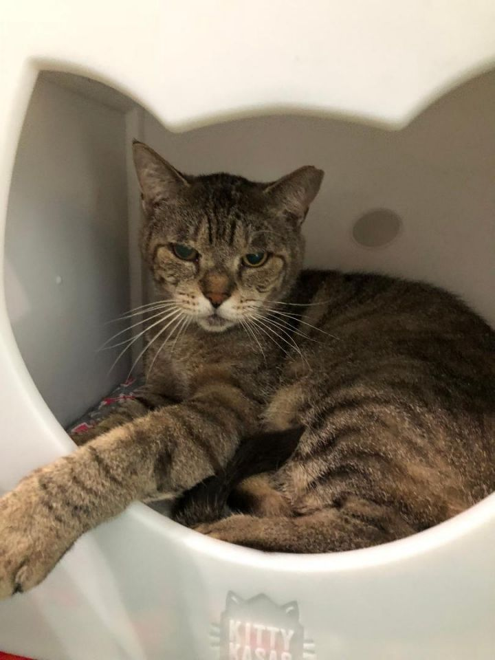 Tabby, an adoptable Tabby in Miami, FL