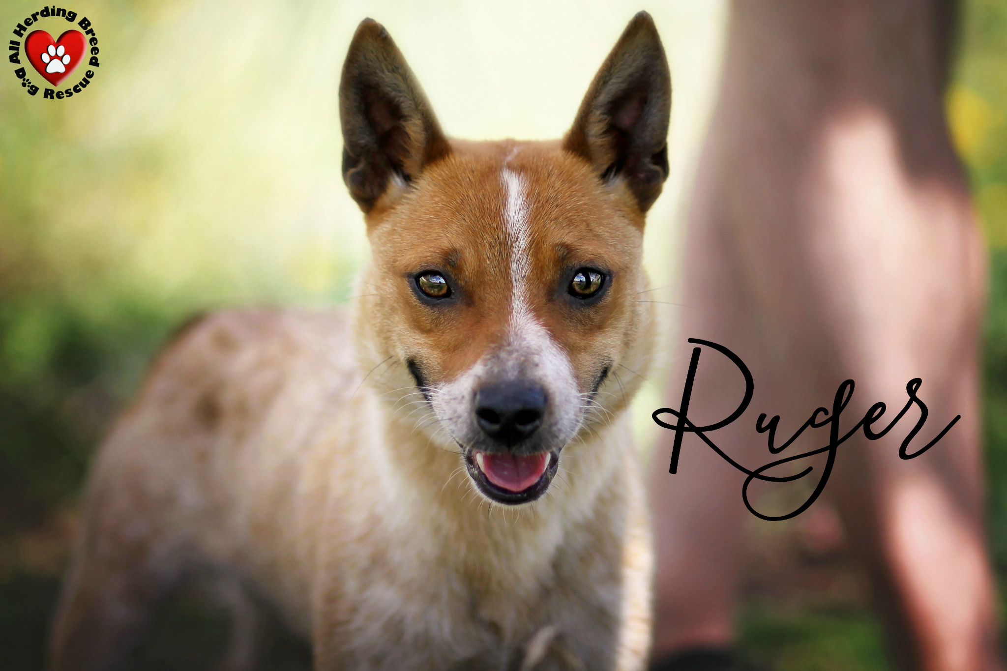 Dog for adoption ruger near joliet il petfinder ask about ruger solutioingenieria Image collections