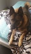 Norwegian Elkhound Dog: Flo