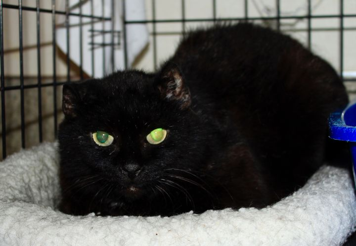Dudette, an adoptable Domestic Short Hair in Grass Valley, CA