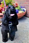 English Cocker Spaniel Dog: Henry-ADOPTED