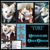 American Eskimo Dog Dog: Yuki
