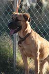 Pit Bull Terrier Dog: Gilmore