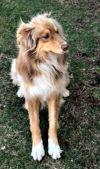 Australian Shepherd Dog: Bo