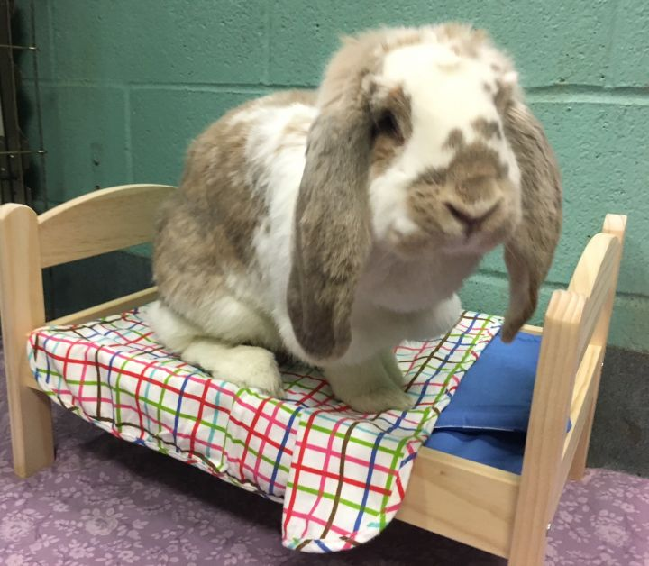 Latrice Royale, an adoptable French Lop in New York, NY