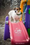Jack Russell Terrier Dog: Jake the Jack