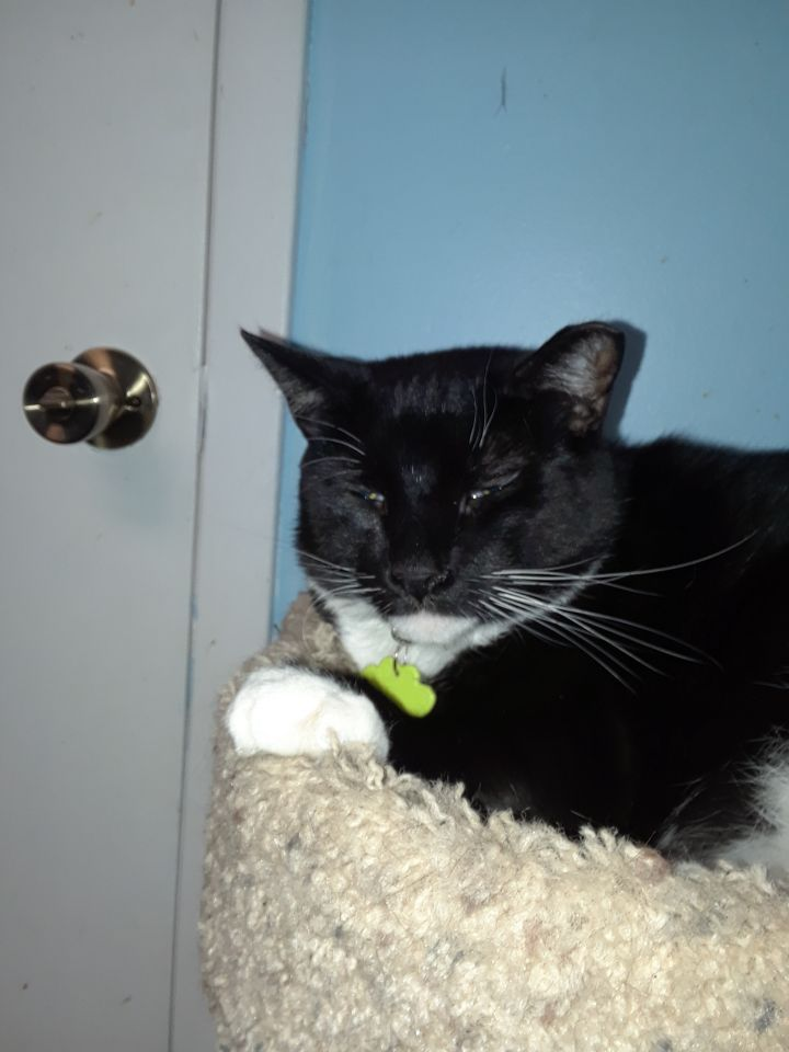Onyx, an adoptable Domestic Short Hair Mix in Medford, NY