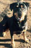Rottweiler Dog: KENYA