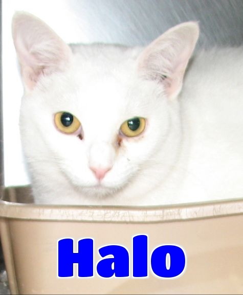 #4412 Halo - sponsored, an adopted Domestic Short Hair Mix in Lawrenceburg, KY