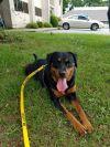 Rottweiler Dog: Roxy