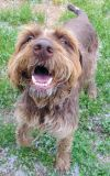 German Wirehaired Pointer Dog: Towser