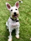 Schnauzer Dog: Jane- Adoption Pending!