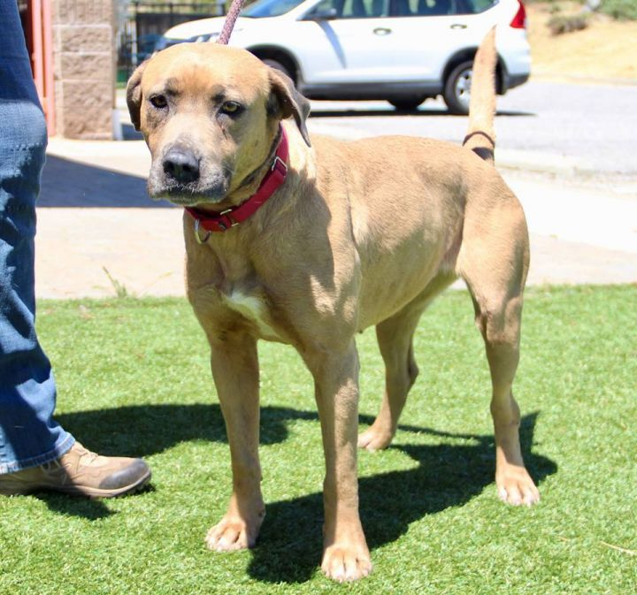 Sookie, an adopted Black Mouth Cur Mix in Grass Valley, CA