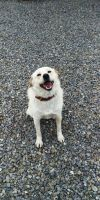 Labrador Retriever Dog: HOPE