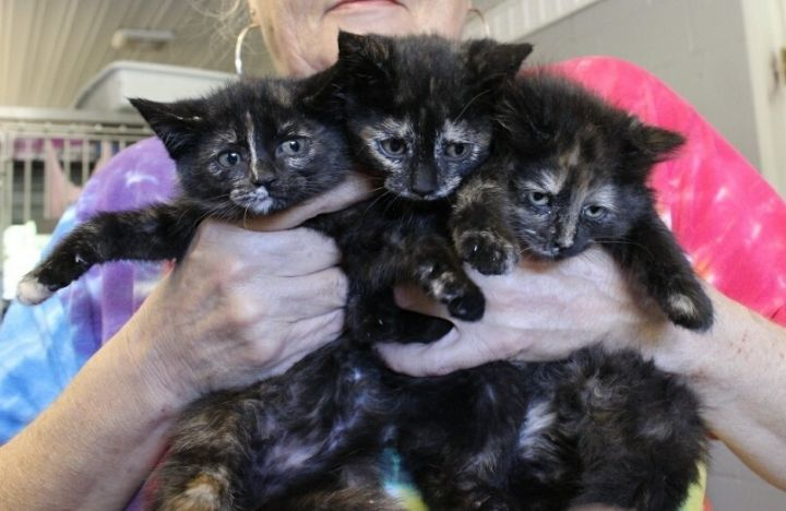 Kittens, an adoptable Domestic Short Hair in Cynthiana, KY