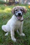 Great Pyrenees Dog: Walden