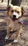 Golden Retriever Dog: Billy