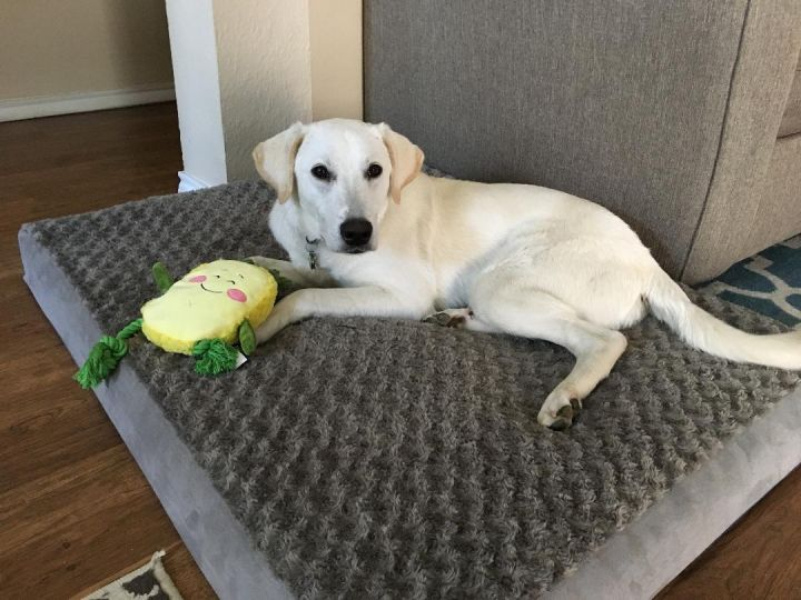 Finn, an adopted Labrador Retriever in Dallas, TX