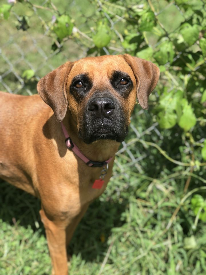 Bria, an adopted Boxer Mix in Franklin, KY