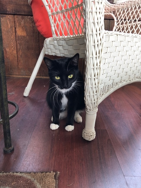 Milena, an adoptable Domestic Short Hair & Tuxedo Mix in Evergreen Park, IL