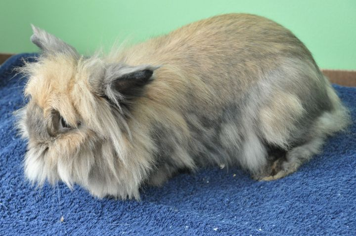 Rabbit For Adoption Ember And Frost A Lionhead Jersey