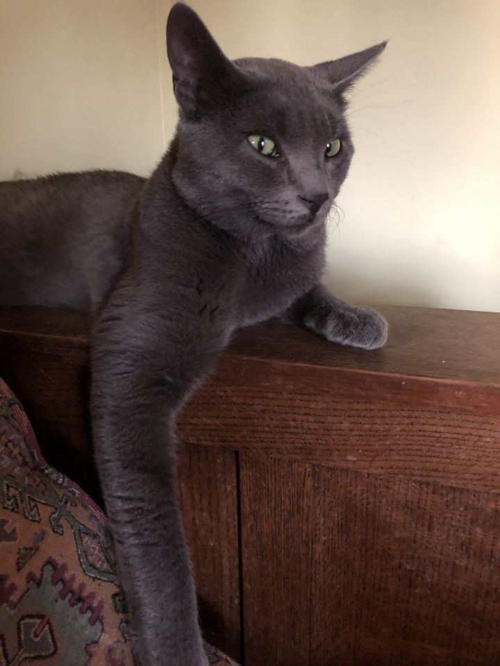 GresGres (pronounced GreeGree), an adoptable Russian Blue Mix in Mission Viejo, CA