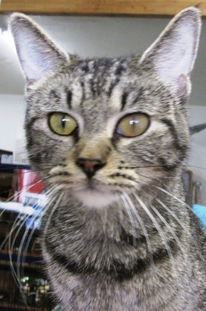 Little Twin, an adoptable Tabby in Buhl, ID